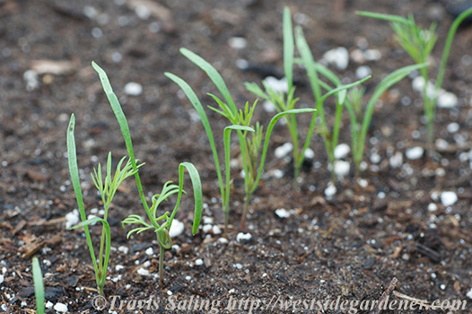 Dill seedlings