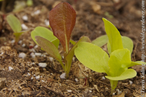Lettuce seedlings (various varieties)