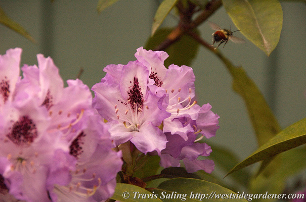 Bee flying near rhododendron flowers